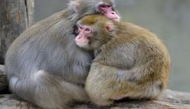 חכמת הקבלה - קופים בעלי חיים חיות